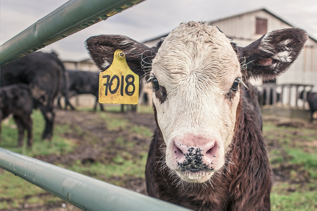 cow with a number tag