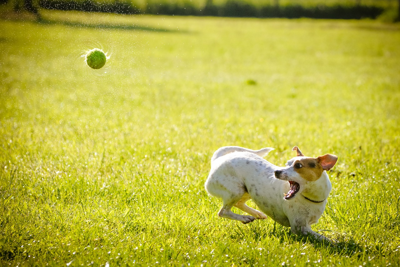 ball thrown at dog