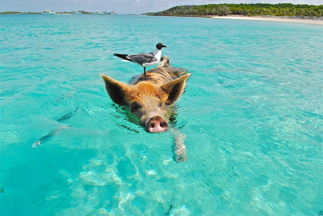 pig swimming with seagull on his head