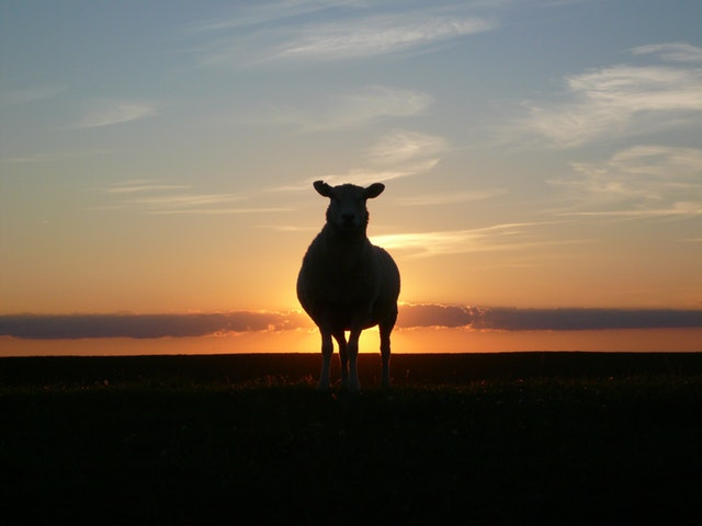 sheep during sunset