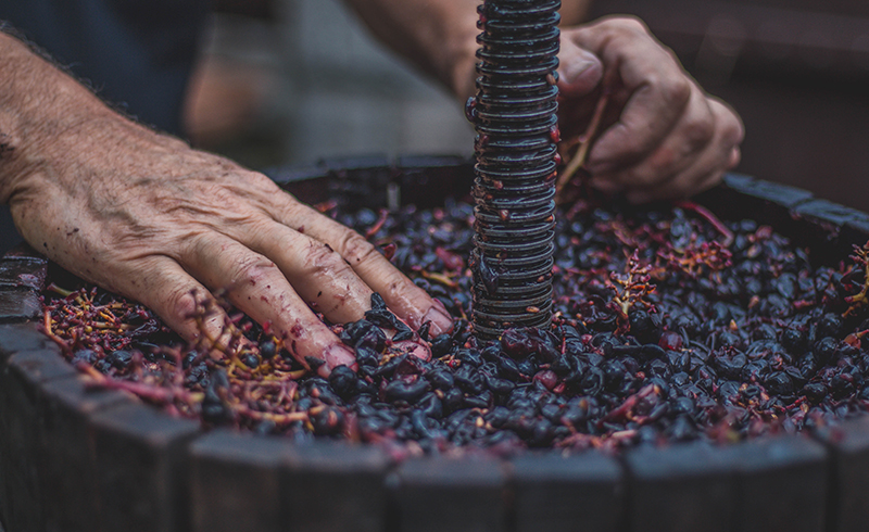 Making Wine Hands in Grapes