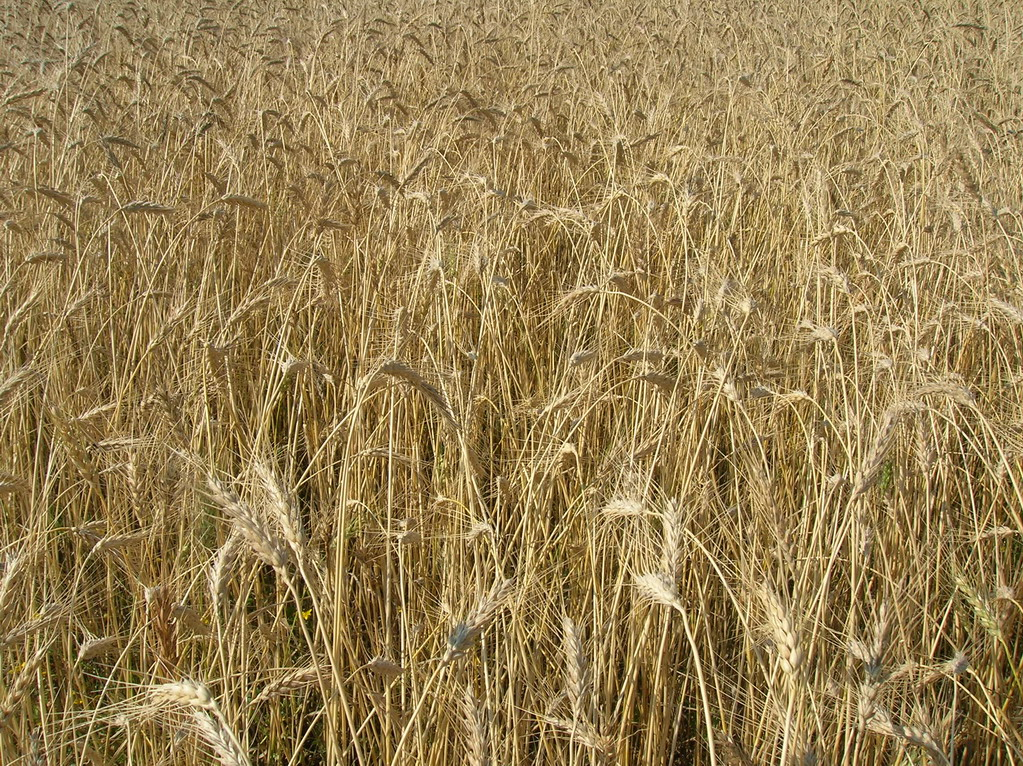 Close up of a field of grain