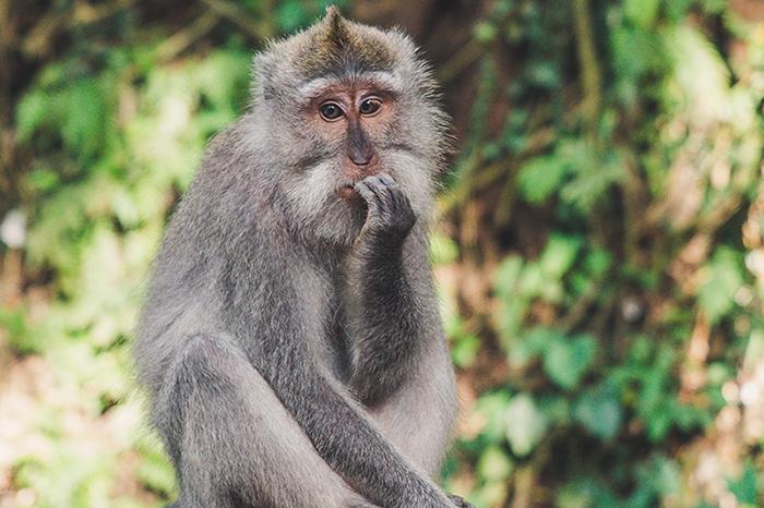 Nervous Language Learner Monkey