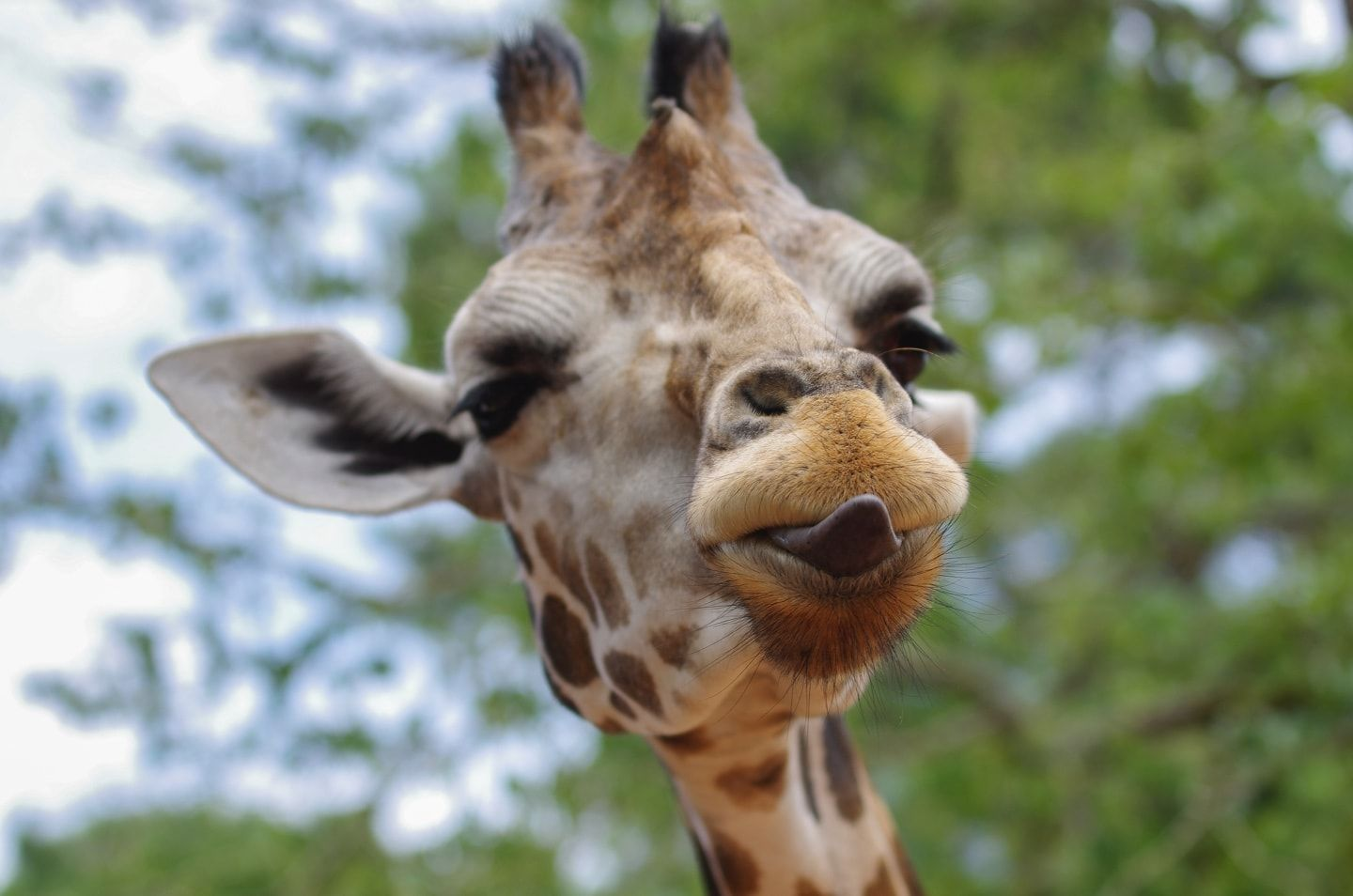 Giraffe with his tongue out
