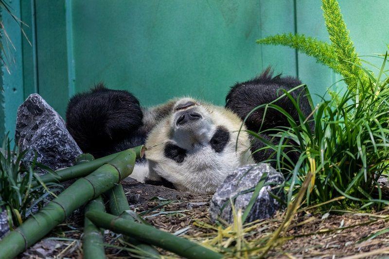 Panda relaxing