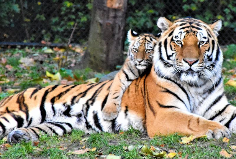 baby tiger on top of adult tiger